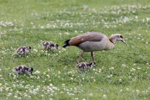 South Cape Town. Mother Goose with Goslings by Fred Lord