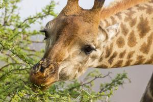 South Londolozi Reserve. Close-up of Giraffe Feeding on Acacia Leaves by Fred Lord