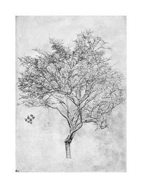 Study of a Lemon Tree, 1899 by Frederic Leighton