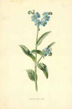 Forget-Me-Not by Frederick Edward Hulme