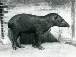 A Brazilian/South American Tapir at London Zoo, October 1922 by Frederick William Bond