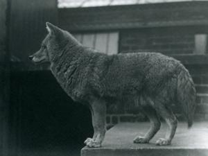 A Coyote at London Zoo, October 1920 by Frederick William Bond