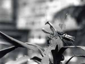 Praying Mantis, 1915 by Frederick William Bond