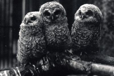 Three Young Tawny Owls Sit on a Branch by Frederick William Bond
