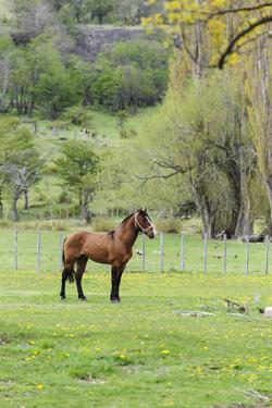 Chile, Aysen, Cerro Castillo. Horse in pasture. by Fredrik Norrsell