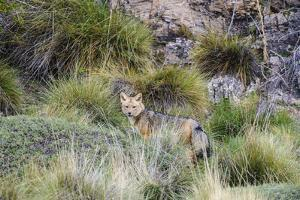 Chile, Aysen, Valle Chacabuco. Fuegian Fox in Patagonia Park. by Fredrik Norrsell