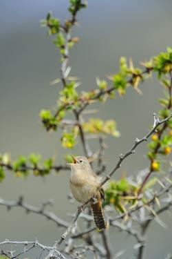 Chile, Aysen, Valle Chacabuco. House Wren in Patagonia Park. by Fredrik Norrsell