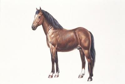 https://imgc.allpostersimages.com/img/posters/freiberger-or-franches-montagnes-horse-equus-caballus_u-L-PVE7TE0.jpg?p=0