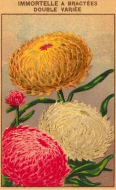 French Dahlia Seed Packet