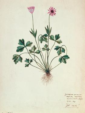 Fol.1275 Geranium (W/C on Paper) by French