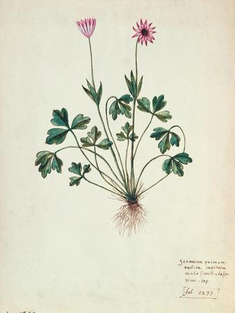 Fol.1275 Geranium (W/C on Paper)