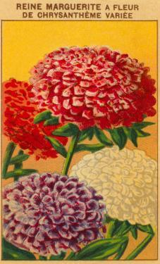 French Reine Marguerite Chrysanthemum Seed Packet