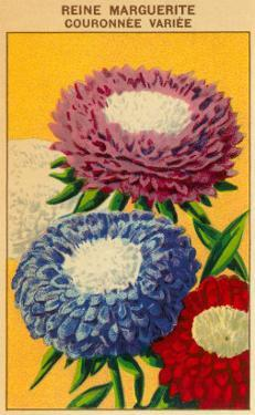 French Reine Marguerite Coronets Seed Packet