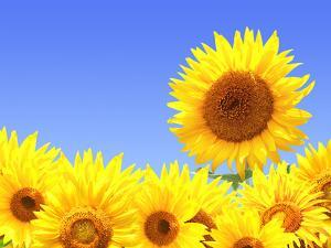 Border with Many Yellow Sunflowers by frenta