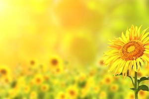 Bright Yellow Sunflowers and Sun by frenta