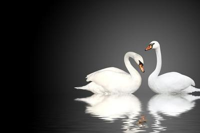 Two White Swans On Black Background