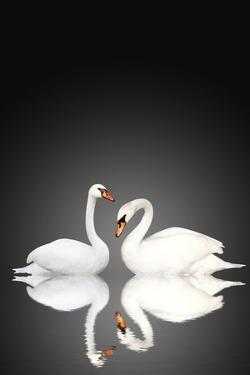 Two White Swans On Black Background by frenta