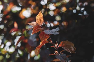 https://imgc.allpostersimages.com/img/posters/fresh-red-foliage-of-the-copper-beech-in-the-spring_u-L-Q1EXNEL0.jpg?artPerspective=n