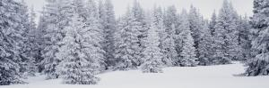 Fresh Snow on Pine Trees Taos County, NM