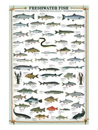 Fish chart posters at allposters freshwater fish sciox Images