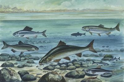 https://imgc.allpostersimages.com/img/posters/freshwater-fishes-in-river_u-L-PVEBKT0.jpg?p=0