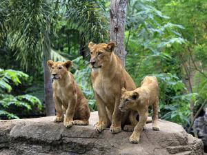 Family of Lions by Friday