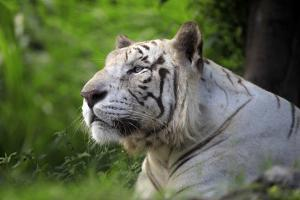 Portrait of a White Tiger by Friday
