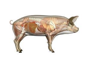 Pig Anatomy, Artwork by Friedrich Saurer