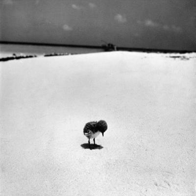 Chick on Beach Waits for Parents to Return From Their Daily Hunting, on the Great Barrier Reef