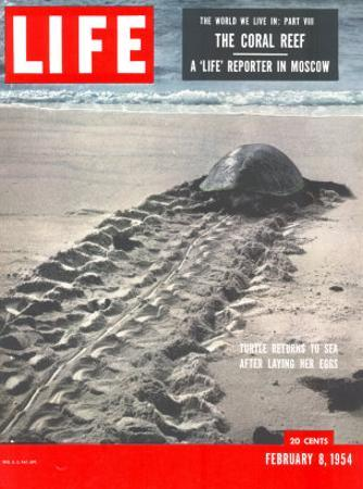 Turtle Returning to Sea after Laying Eggs, February 8, 1954
