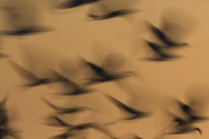 Atmospheric - Gulls in flight at sunset, blurred movement, Sanibel Island, Florida by Fritz Polking