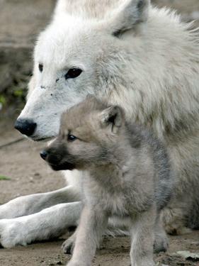 DEU BB Zoo Wolf by Fritz Reiss