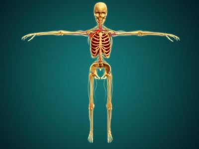 https://imgc.allpostersimages.com/img/posters/front-view-of-human-skeleton-with-nervous-system-arteries-and-veins_u-L-PN8KBR0.jpg?artPerspective=n
