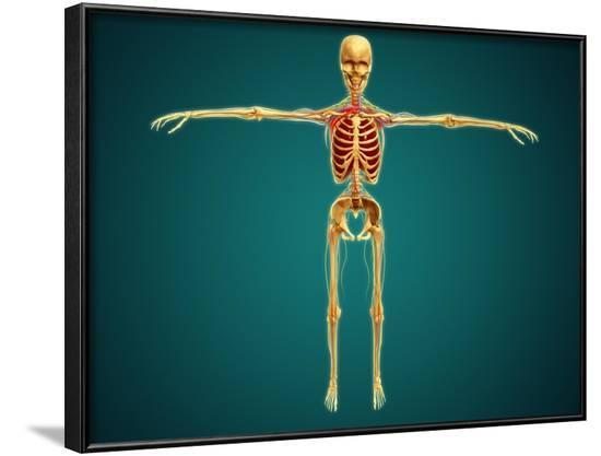Front View of Human Skeleton with Nervous System, Arteries and Veins--Framed Art Print