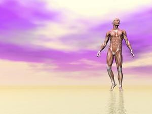 Front View of Male Musculature, Pink Background