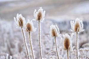 Frozen Icy Flowers in Winter. Rime or Hoar Frost on Teasel (Dipsacus Sylvestris) on Foggy Winter Da