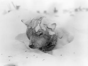 Frozen Sled Dog
