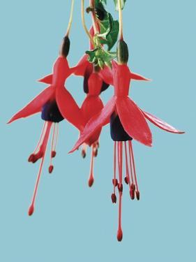 Fuchsia Flowers Blooming