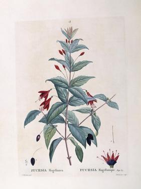 Fuchsia (Fuchsia Magellanica)