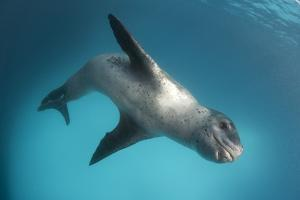 Full Body View of a Leopard Seal, Astrolabe Island, Antarctica