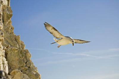 Fulmar Petrel in Flight over the Seven Sisters