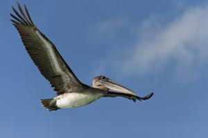 Galapagos Brown Pelican (Pelecanus Occidentalis Urinator) in Flight by G and M Therin-Weise