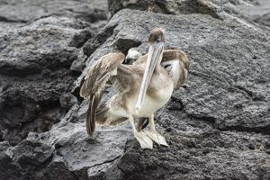 Galapagos Brown Pelican (Pelecanus Occidentalis Urinator) by G and M Therin-Weise