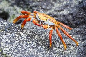 Sally Lightfoot Crab (Grapsus Grapsus), Galapagos, Ecuador, South America by G and M Therin-Weise