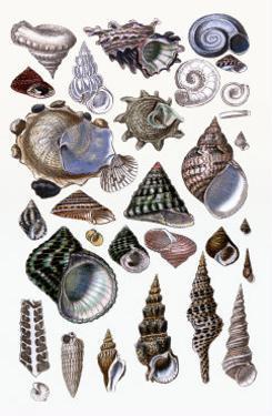 Shells: Trachelipoda by G^b^ Sowerby
