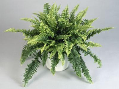 Close-Up of a Boston Fern in a Pot (Nephrolepis Exaltata) by G. Cigolini