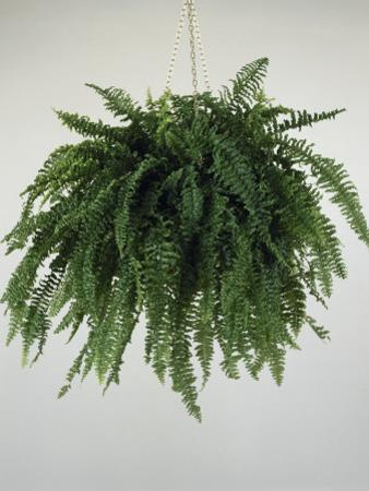 Close-Up of a Boston Fern Plant Growing in a Hanging Basket (Nephrolepis Exaltata) by G. Cigolini