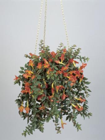 Close-Up of a Hanging Potted Plant of Goldfish Vine (Columnea Banksii) by G. Cigolini