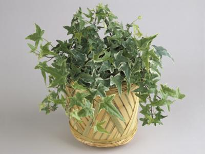 Close-Up of an English Ivy Plant Growing in a Pot (Hedera Helix) by G. Cigolini