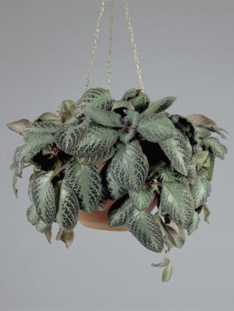 Close-Up of Flame Violet Growing in a Hanging Basket (Episcia Cupreata) by G. Cigolini